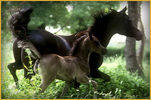 Cavallo Arabo Black Magic Arc