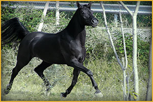 Cavallo Arabo Arc Aristanne